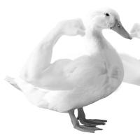 MuscleDuck